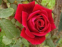 rose_credit_parvin_flicker_creative_commons_200
