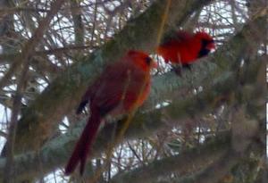 cardinal_c300